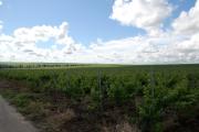 Dealurile de creta acoperite cu vita de vie_3