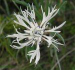 Centaurea_napulifera_02
