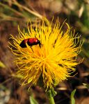 Centaurea_thracica_01