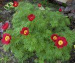 Paeonia_tenuifolia_02